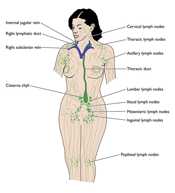 Female+lymphatic+system