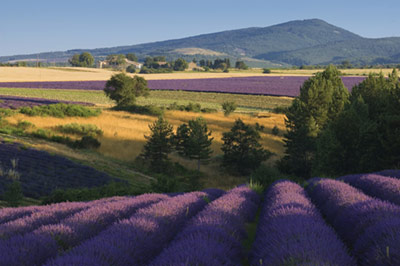 At+the+end+of+July%2C+the+lavender+flowers+from+Provence%2C+France%2C+%28Lavendula+angustifolia%29+are+in+full+bloom.+