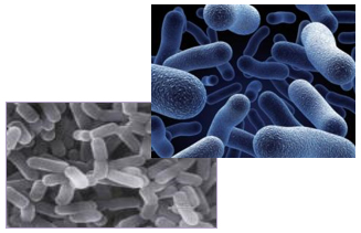 An image of lactobacillus